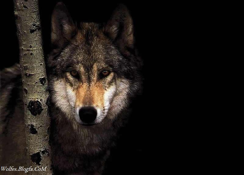 زندگی در گله گرگها - نخود هر آش- عبدالرضا محمدبیگی